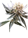 Sour Tangie Feminised Seeds - 6