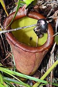 2. Nepenthes attenboroughii