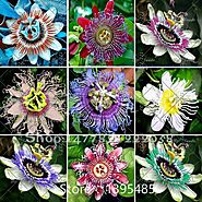 Passion Flower (Passiflora incarnata), 100pcs/bag Certified Pure Live Seed, True Native Seed plant for home & garden