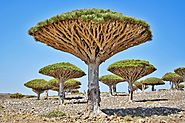 8. The Dragon Tree