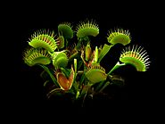 3. Venus Fly Trap