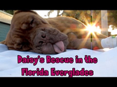 Hope For Paws in Florida - Daisy, Dogue de Bordeaux rescue (French Mastiff) - Please share