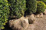 The Best Practices for Transplanting Trees and Shrubs