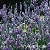 Effects of lavender aroma on sleep qualit... [Percept Mot Skills. 2012] - PubMed - NCBI