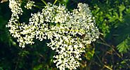 Getting to Know the Valerian Plant - Herbal Academy