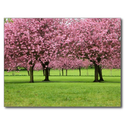 Blooming Sakura Trees Post Card from Zazzle.com