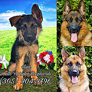 German Shepherd puppies for sale - #1 German Shepherd Breeder Miami