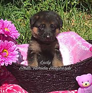 German Shepherd Puppies For Sale in Miami, Fl