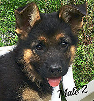 German Shepherd Puppies For Sale in Naples Florida
