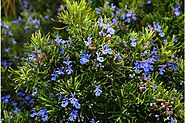 Rosemary as an herbal antidote to stress, anxiety, and depression