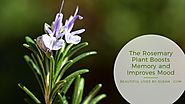 The Rosemary Plant Boosts Memory & Mood ·