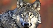 Congress Funds the Great Lakes Restoration Program and Leaves Wolves on Endangered List