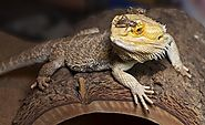 Important Factors to Consider When Shopping for Bearded Dragon Food