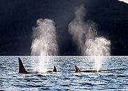 San Juan Islands Whale Watching: Maximize Your Time with These Majestic Creatures