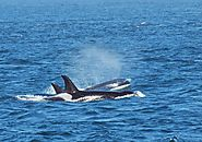 Marvel at Nature's Wonders and Visit the San Juan Islands for Whale Watching Adventures