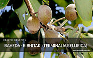 Baheda - Bibhitaki (Terminalia bellirica) Health Benefits and Uses