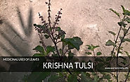 krishna Tulsi - Information About Tulsi & Medicinal Uses Of Leaves