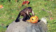 Halloween monkey business at Edinburgh Zoo
