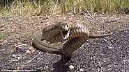 DEADLY SNAKES – UUUGGHH!!