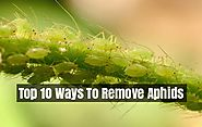 How To Get Rid Of Aphids - Top 10 Home Remedies To Control Aphids