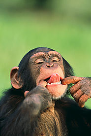 Contrary to this picture, chimpanzees are actually very smart.
