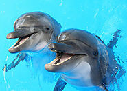 Bottlenose dolphins have the largest brains in the animal kingdom when it comes to body mass to brain ratio.