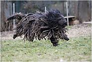 The Bergamasco Shepherd