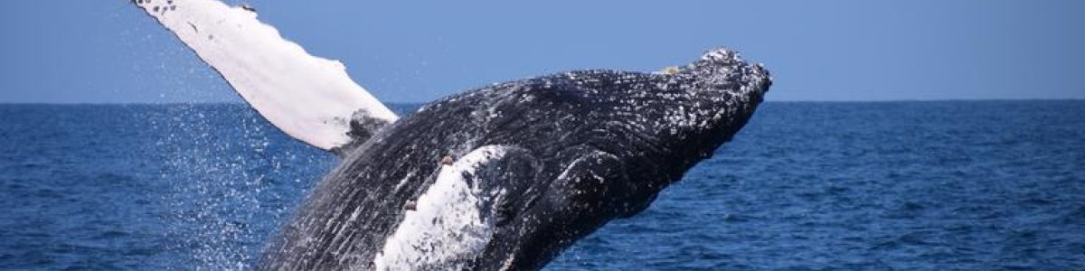 Headline for List of Whale Species in Sri Lanka - Learn about Five of the Most Sighted Whale Species in the Indian Ocean