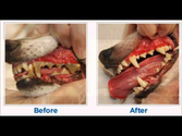 Dog Teeth Plaque Removal: Before & After