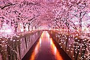 Cherry Blossoms - Hokaido Japan