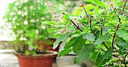 Krishna Tulsi - Health Benefits and Medicinal Uses of Fresh Tulsi Leaves - Ayurvedic Upchar