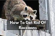 How To Get Rid Of Raccoons Naturally? - Raccoon Removal