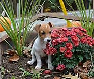 Best Irish Jack Russell Puppies For Sale