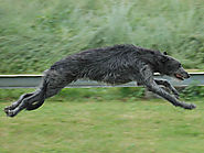 6). Scottish Deerhound