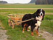 9). Bernese Mountain Dog