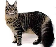 10). Maine Coon