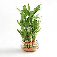 Buy or Send Good Luck Three Layer - Plant Gifts - OyeGifts.com