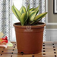 Buy or Send Lush Green Sansevieria - Plant Gifts - OyeGifts.com