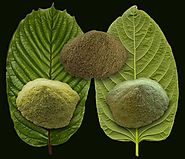 Difference Between Red, Green and White Maeng Da Kratom