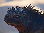 Nine Fun Facts about Galapagos Marine Iguanas - Galapagos Islands