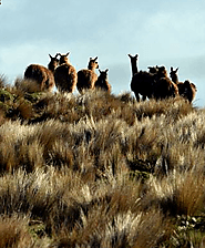 Alpacas of Ecuador's Andes | Happy Gringo Travel Blog
