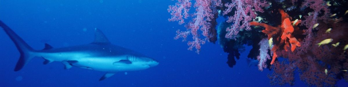 Headline for Top 5 Dive Sites in the Maldives – The Pinnacle of the 'Maldives Experience'