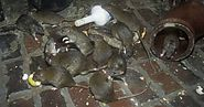 Get The Solution Of Roof Rats in Attic