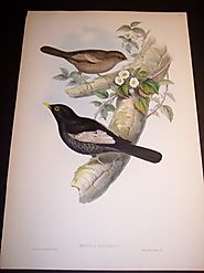 Buy Framed Antique Bird Prints Online