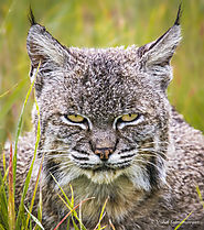 "Vishal Subramanyan on Instagram: ""A female bobcat resting in the tall grass. #bobcat #cat #california #nikonusa #niko..."