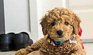 Goldendoodle Info, Facts, Grooming, Behavior, Health - BarkForce
