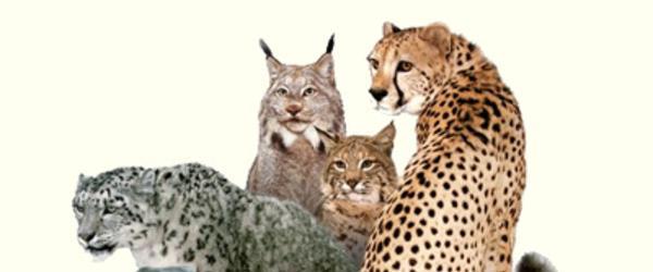 big cat conservation jobs oregon