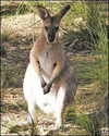 'Stoned wallabies make crop circles'