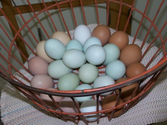 Blue, Green, Brown Eggs