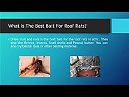 Exclude Roof Rats In Attic